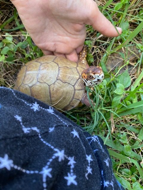 Box turtle near hand