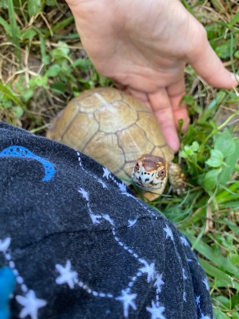 Box turtle sees stars