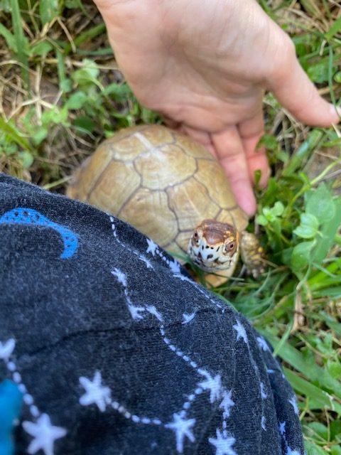 Box turtle sees stars