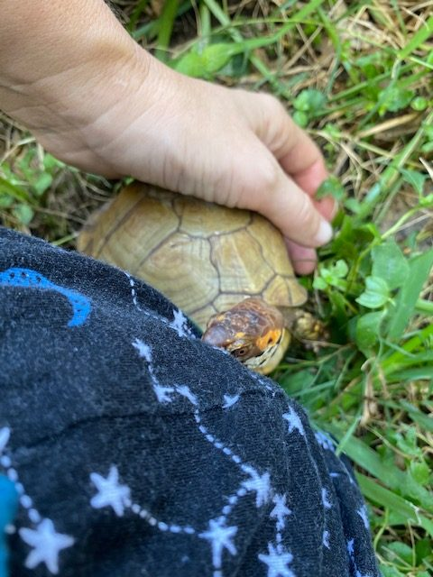 Box turtle sits next to rescue mama