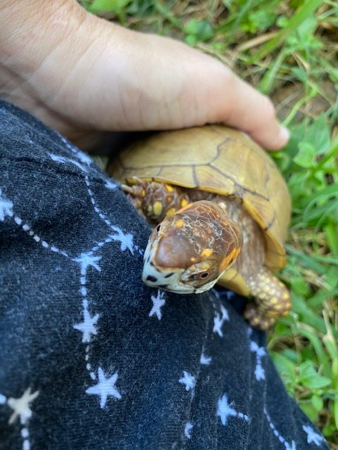 Box turtle climbs onto rescue mama