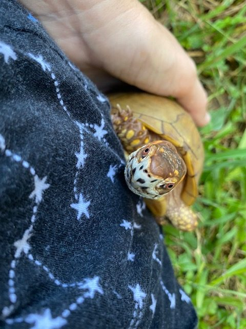 Box turtle climbs rescue mama