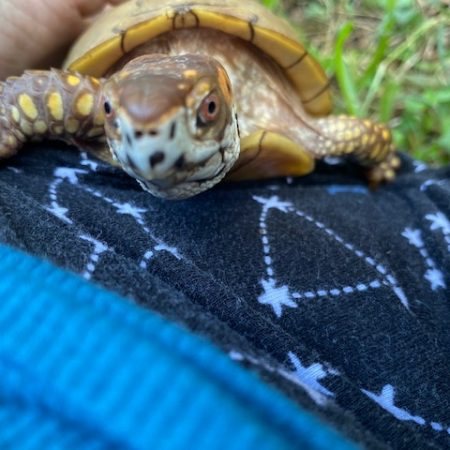 Box turtle with rescue mama