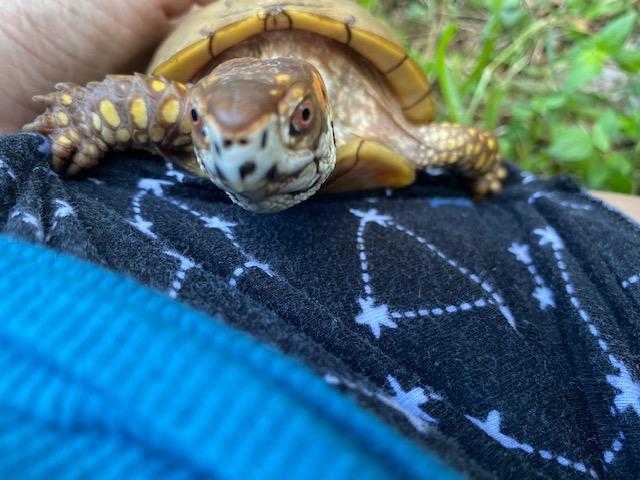 Box turtle with rescue mama