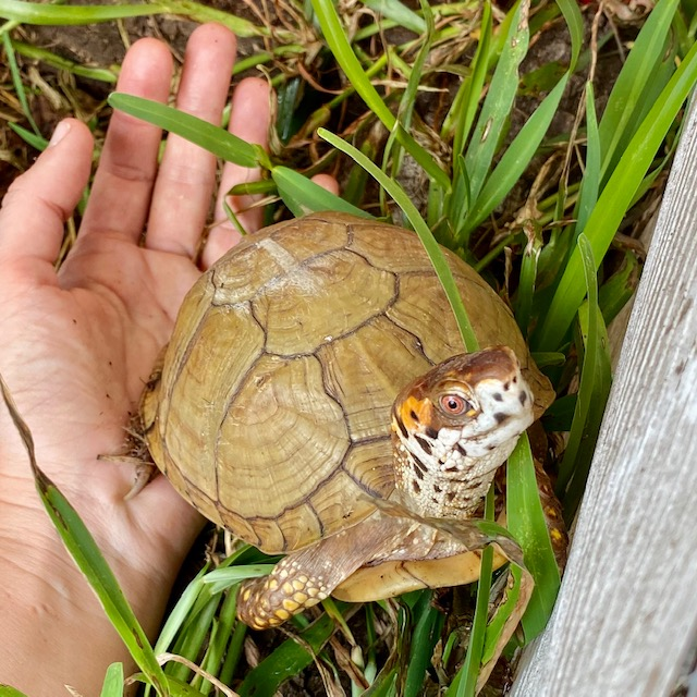 Box turtle stands on hand