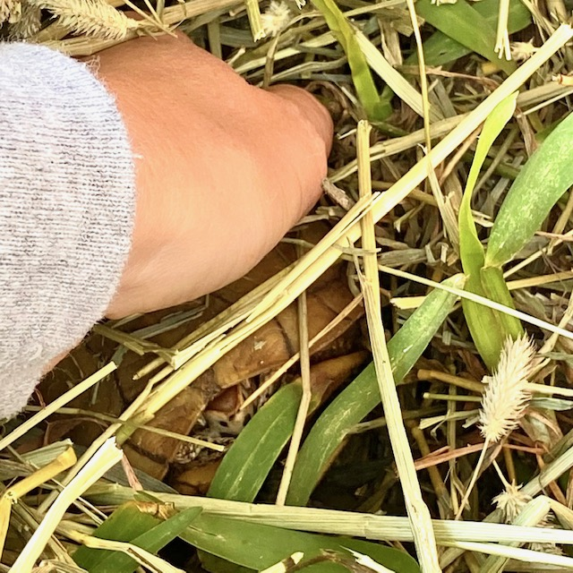 box turtle hibernates in hay