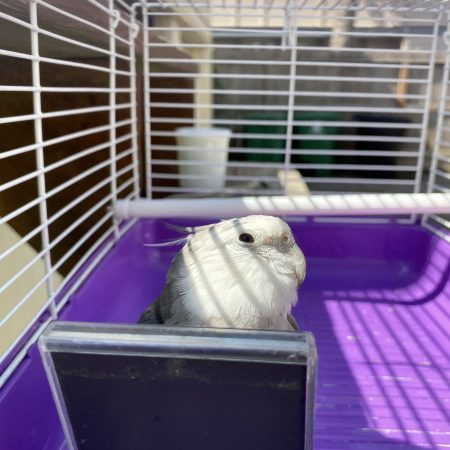 Cockatiel in travel cage