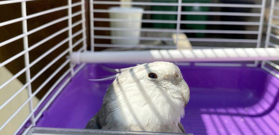 Cockatiel in travel cage