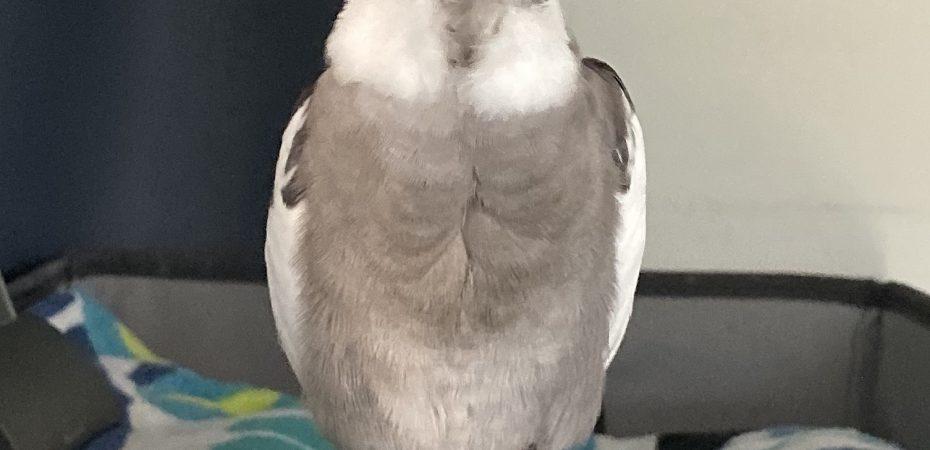 Cockatiel napping