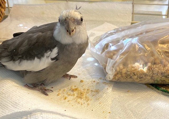 Cockatiel with granola