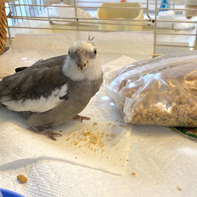 Cockatiel with granola