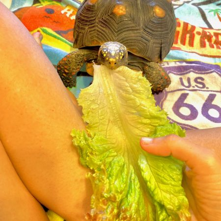 Redfoot tortoise eats romaine lettuce
