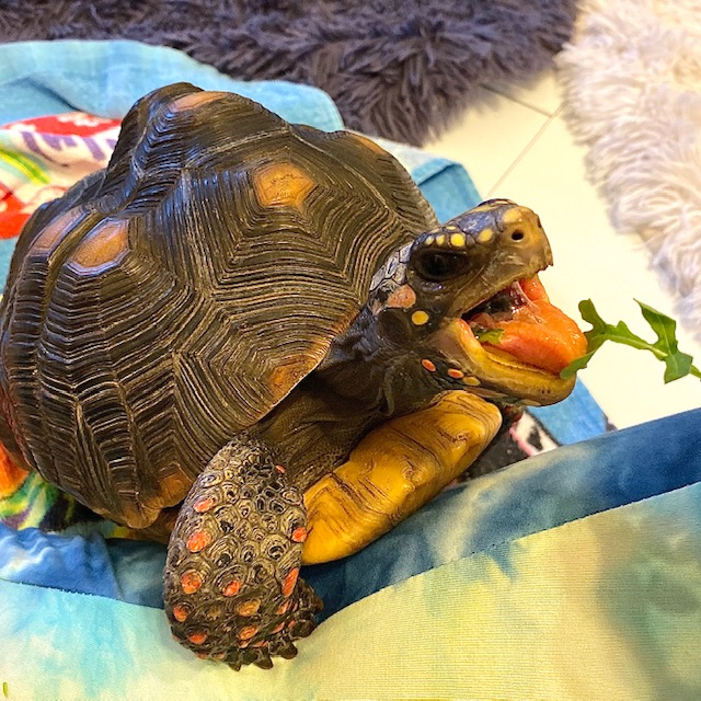Redfoot tortoise opens mouth wide