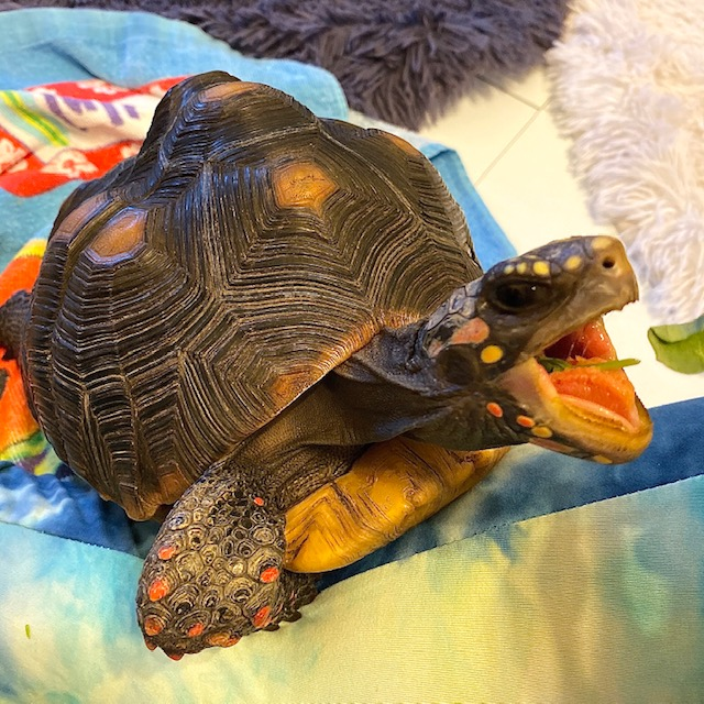 Redfoot tortoise swallows lettuce