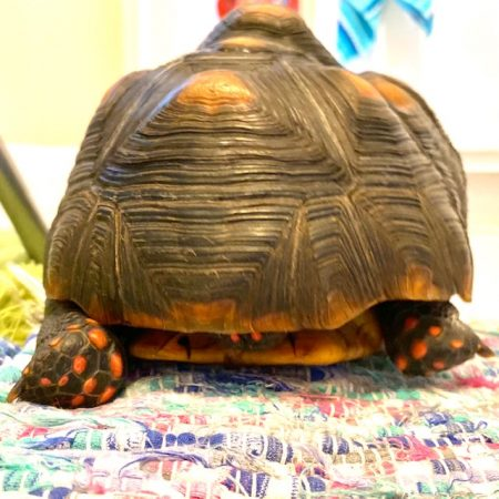 Tortoise with red dotted feet