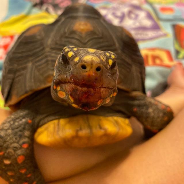 Redfoot tortoise eats blackberry