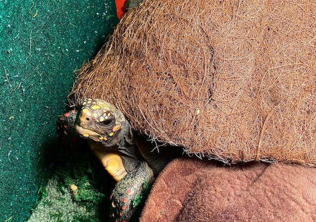 Pet redfoot tortoise indoors