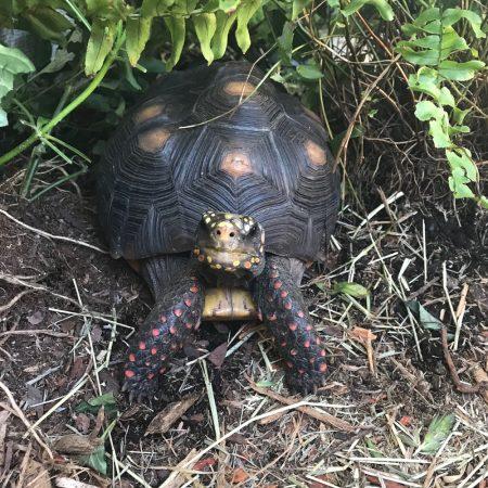 Malti redfoot tortoise