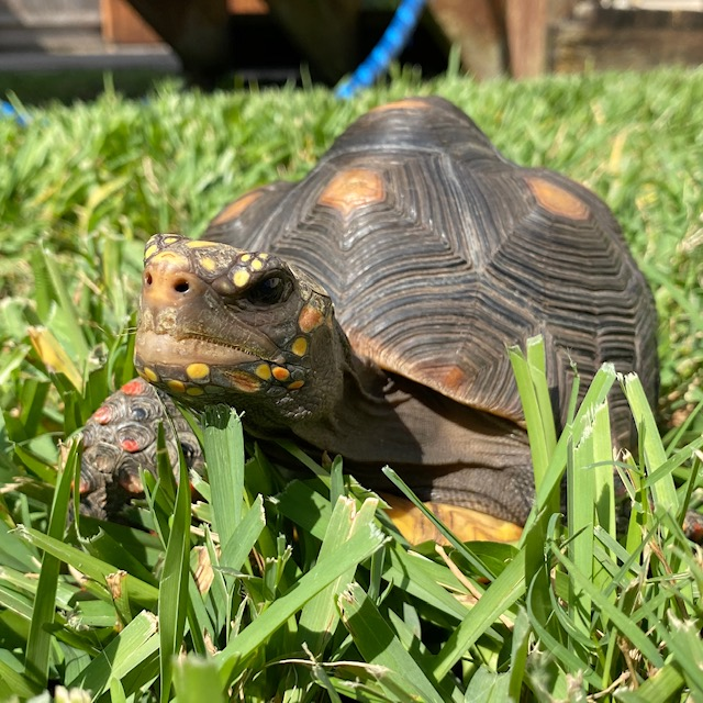 Redfoot tortoise in the grass
