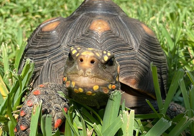 Redfoot tortoise on the lawn