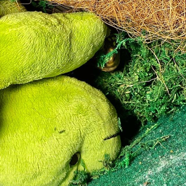Redfoot tortoise nostrils