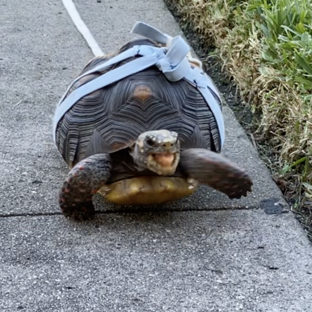 Redfoot tortoise in harness walking