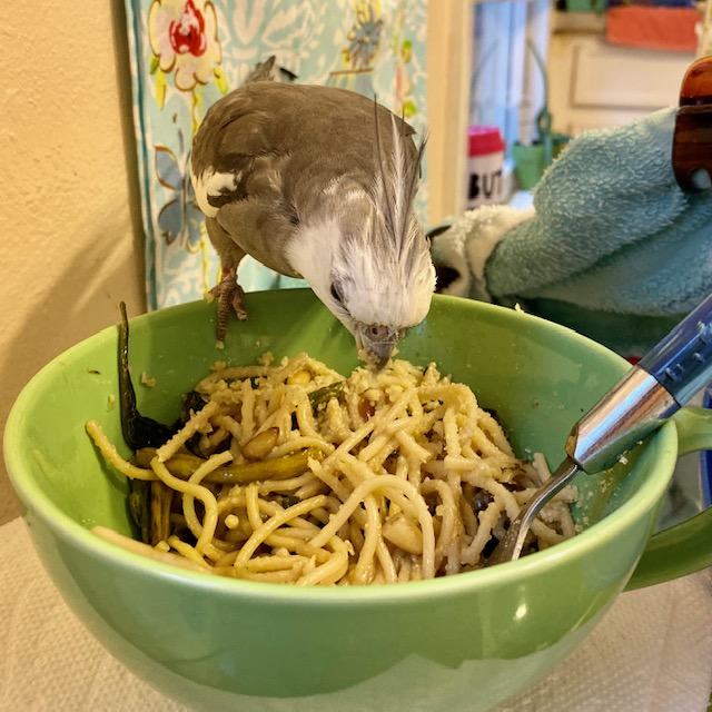 Cockatiel sits on bowl of pasta