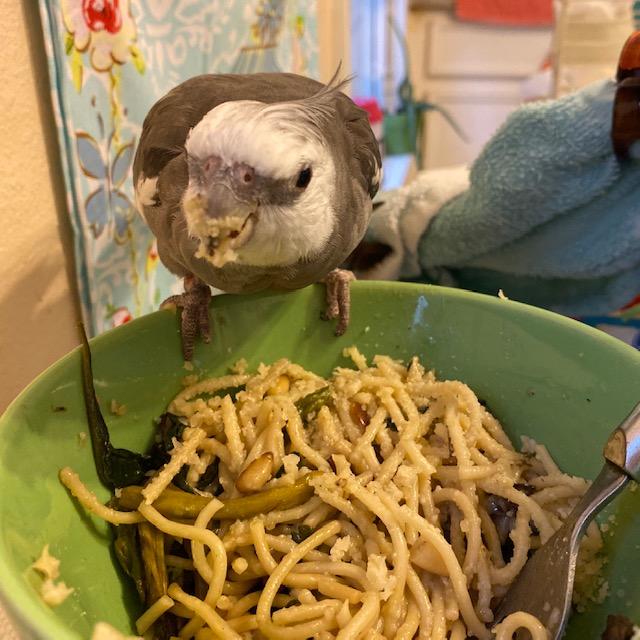 Cockatiel eats pasta