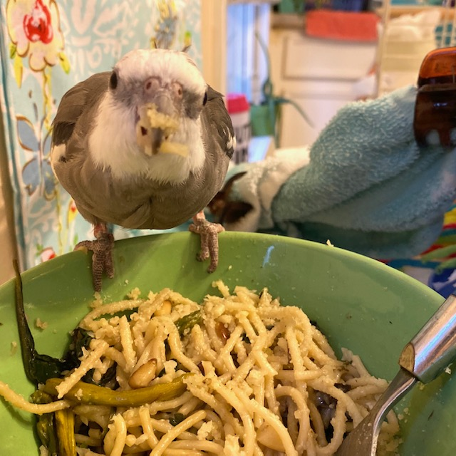 Cockatiel eats pasta from a bowl