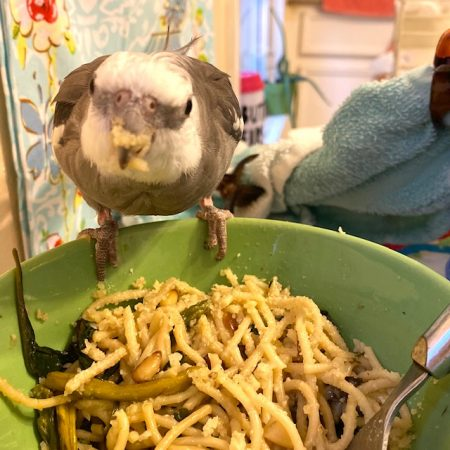 Cockatiel has pasta on beak