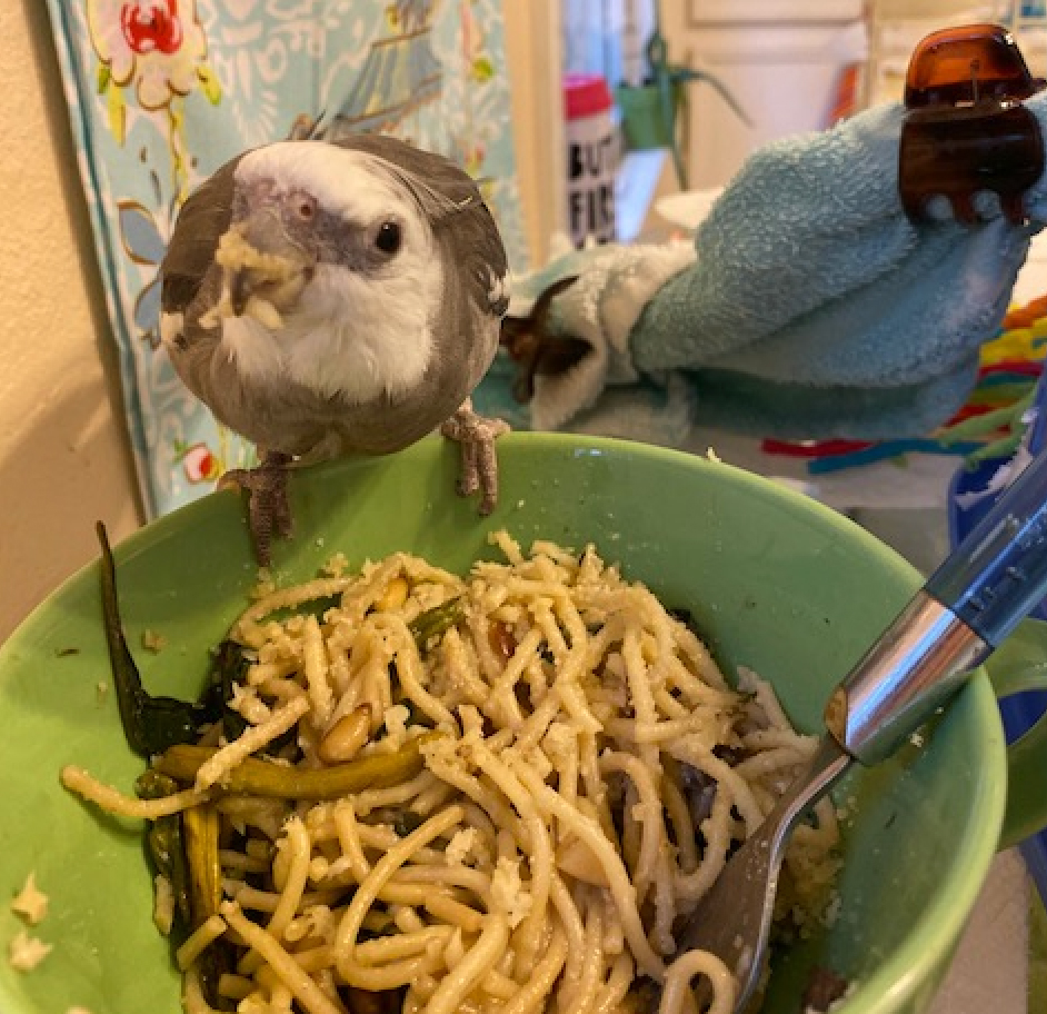 Cockatiel perches on pasta bowl