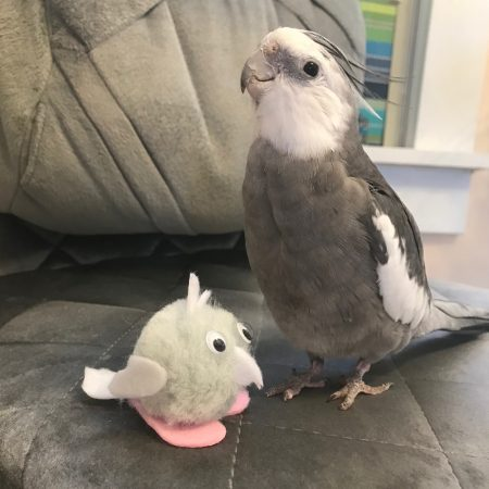 Cockatiel with MiniPearl