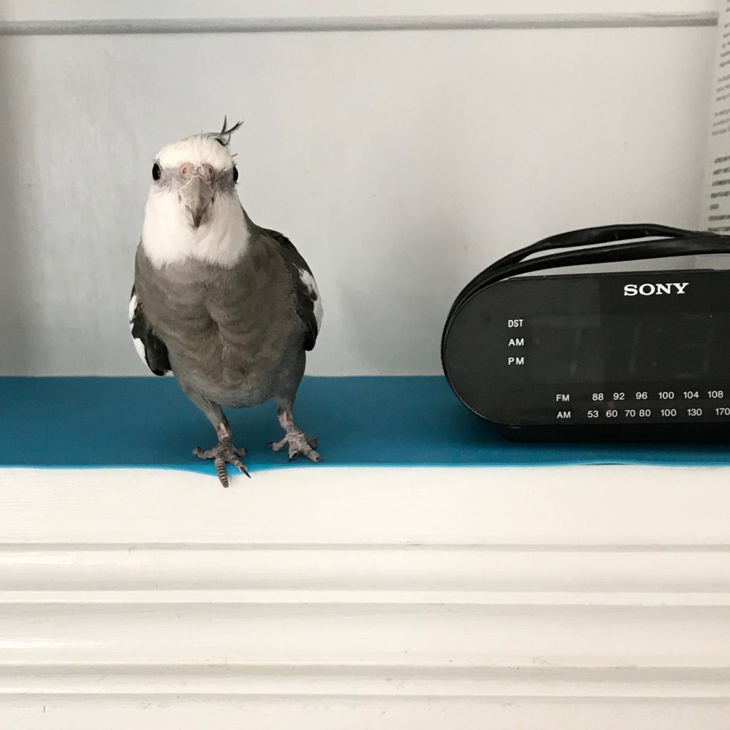 Cockatiel and radio