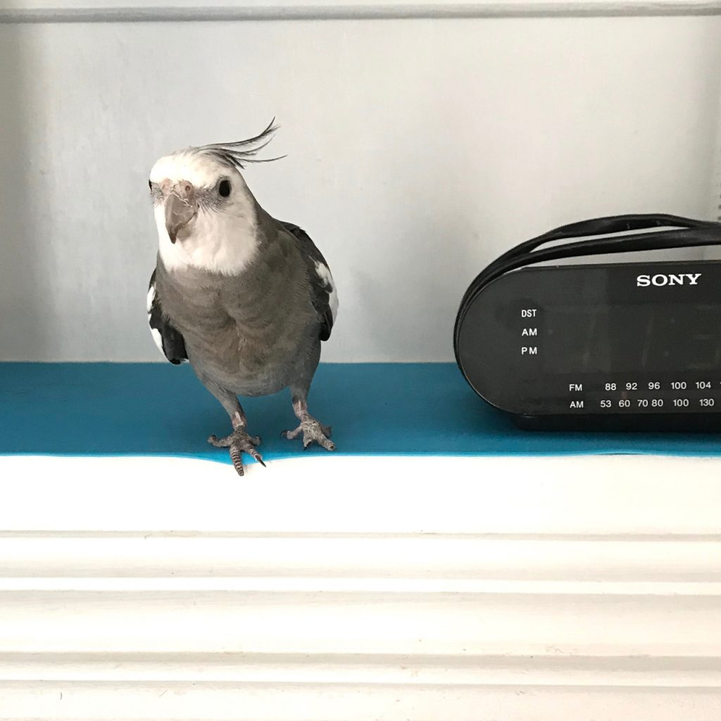 Cockatiel next to radio