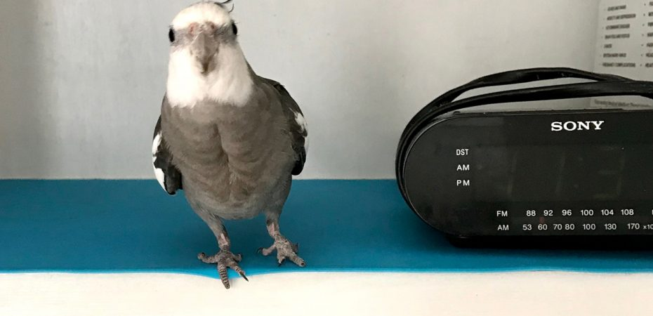 Cockatiel with radio