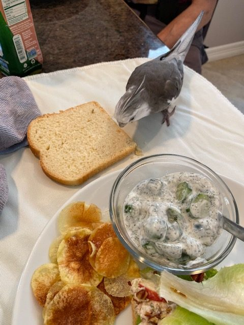 Cockatiel samples bread