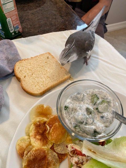Cockatiel samples bread