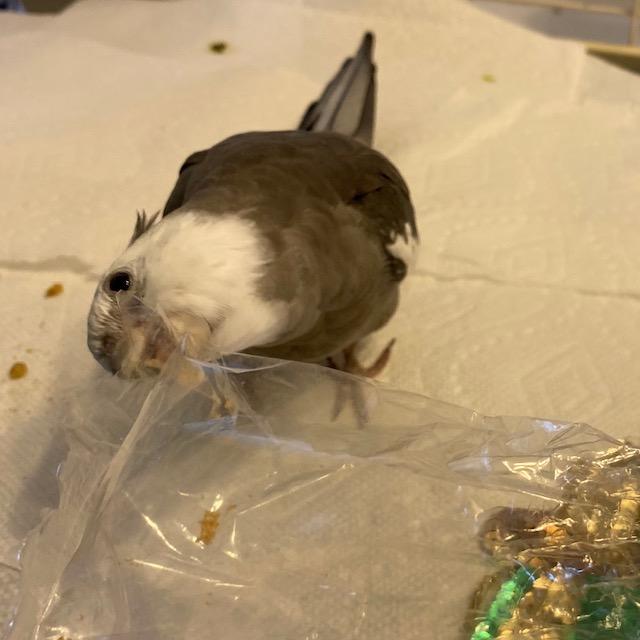 Cockatiel bites a plastic bag
