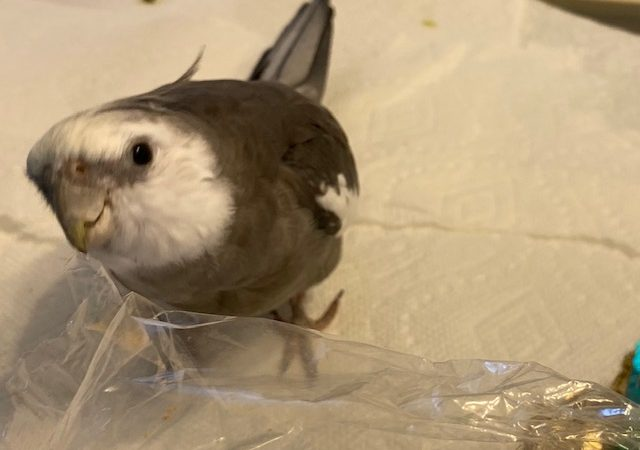 Cockatiel with plastic bag