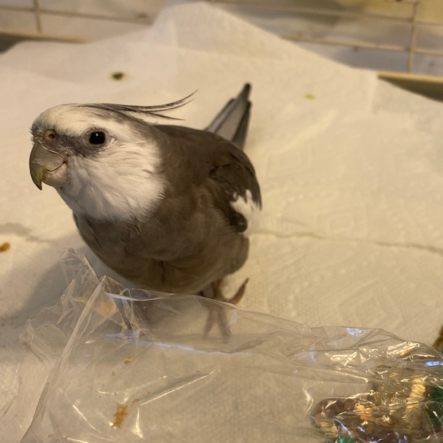 Cockatiel stands by plastic bag
