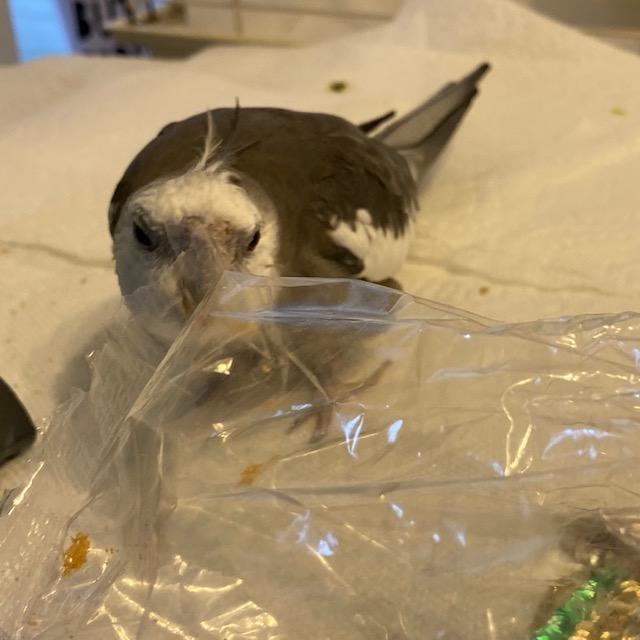 Cockatiel bites plastic