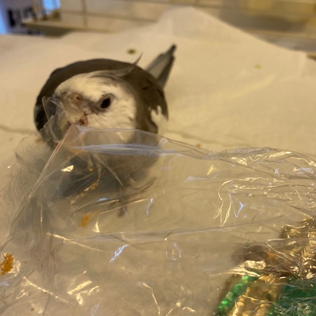 Cockatiel bites plastic bag