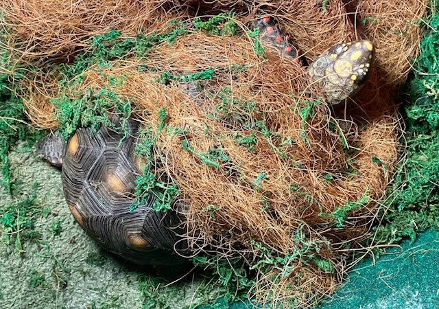 redfoot tortoise with coconut coir