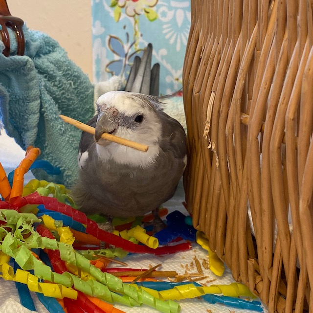 Cockatiel bites wicker twig