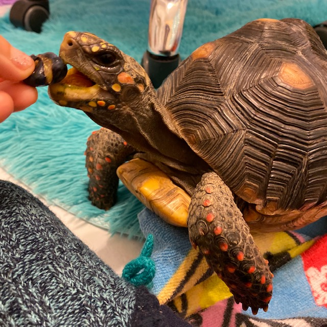 redfoot tortoise eats blueberry