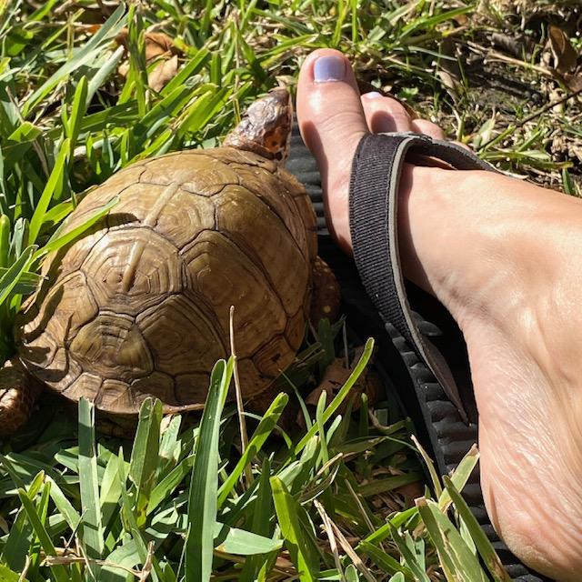 box turtle investigates toes