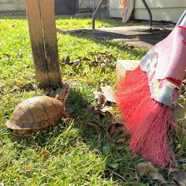 box turtle broom