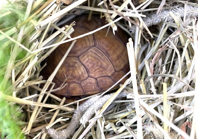 box turtle in hay for hibernation