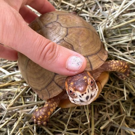 box turtle head pats