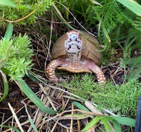 box turtle staring